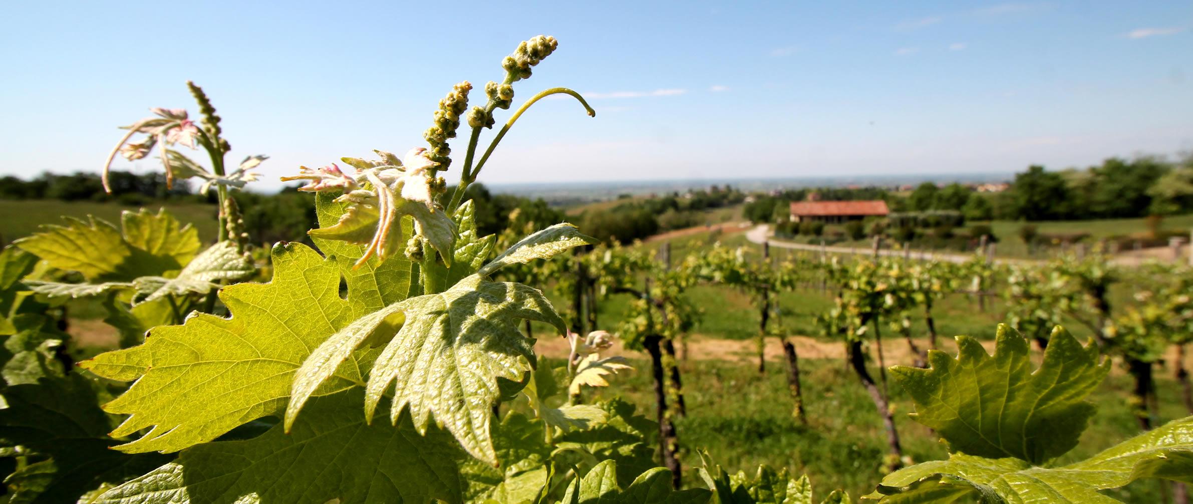 Vigneto Prime Alture Winery